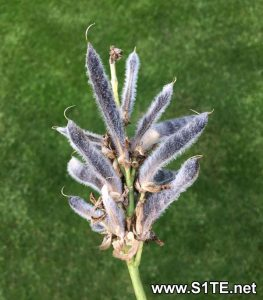 collecting-seeds-from-lupin-pods-how-to