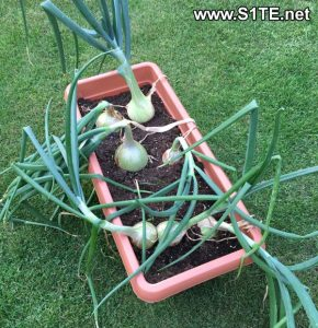 growing-onions-in-container-or-pots