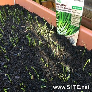 growing-spring-onions-in-containers