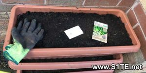 growing-spring-onions-in-containers-or-pots