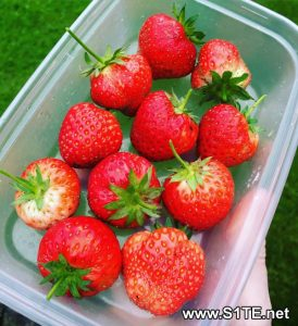growing-strawberries-in-containers