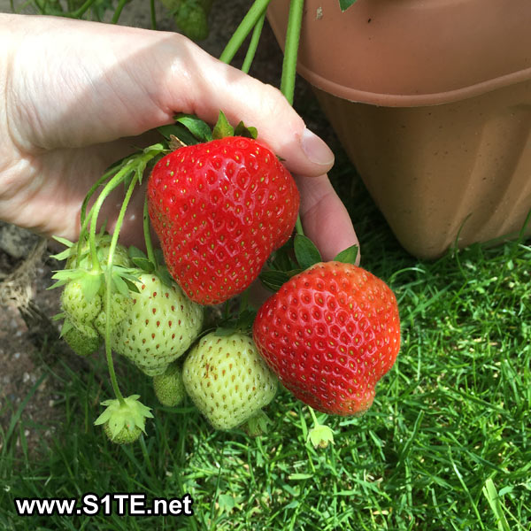 Strawberry In Container Growing: Growing Strawberries In Containers Or Pots / How To Guide