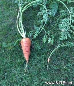 large-and-small-carrots-grown-in-containers