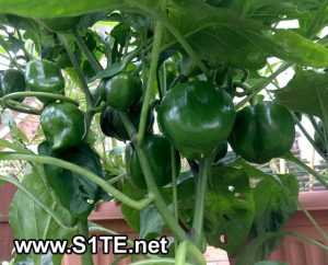 lots-of-sweet-peppers-growing-in-containers