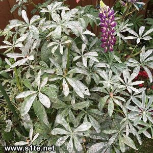 lupin plant with mildew