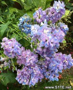 saving-delphinium-plant-seeds
