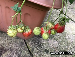 Strawberries Growing out of a container