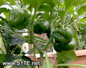 sweet-peppers-growing-in-containers