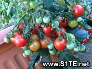 tomatoes-growing-in-a-container