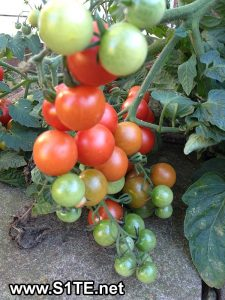 tomatoes-growing-in-containers