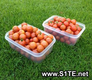 tomatoes-grown-in-containers